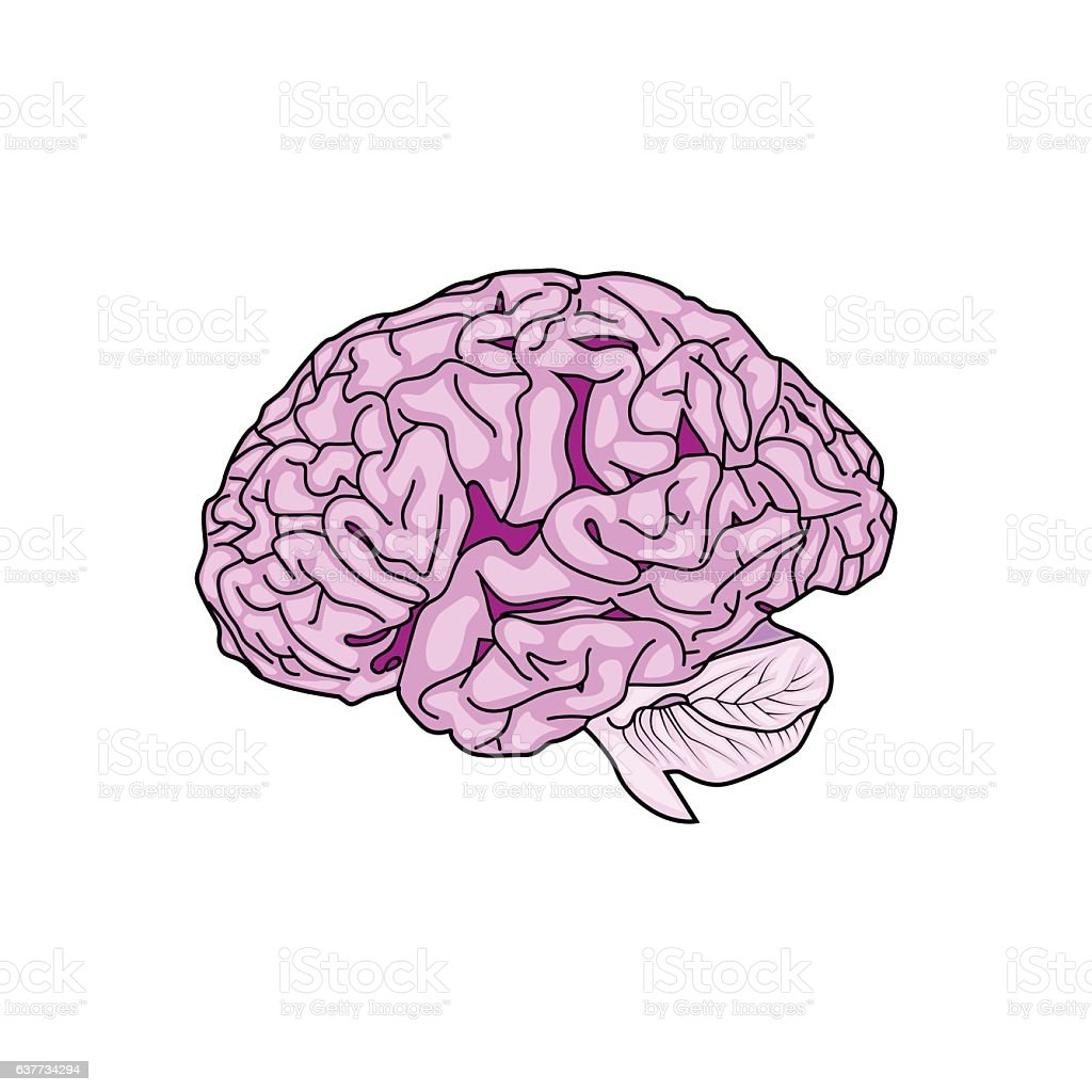 Detailed Human Brain Vector Stock Vector Art More Images Of