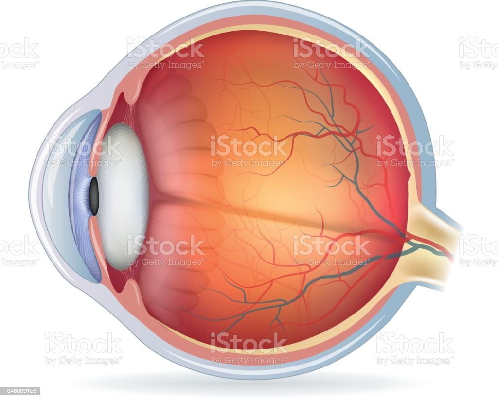Detailed human eye anatomical illustration vector art illustration