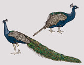 Two peacocks in a detailed line art style for use in your designs. Separated to layers, global colours.