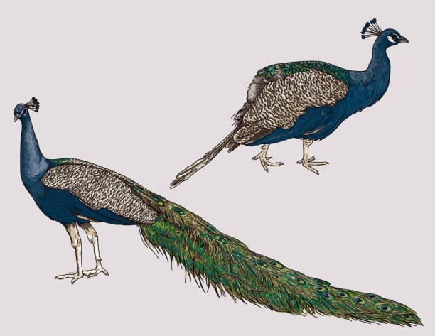 Detailed Line Art Peacock Set vector art illustration