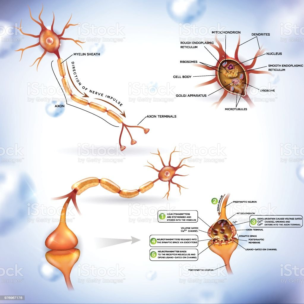 Detailed neuron illustration Neuron, nerve cell, close up illustrations bundle. Synapse detailed anatomy, neuron passes signal to another neuron. Cross section, nucleus and other organelles of the cell. Anatomy stock vector