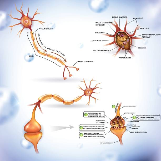 Detailed neuron illustration Neuron, nerve cell, close up illustrations bundle. Synapse detailed anatomy, neuron passes signal to another neuron. Cross section, nucleus and other organelles of the cell. dendrite stock illustrations