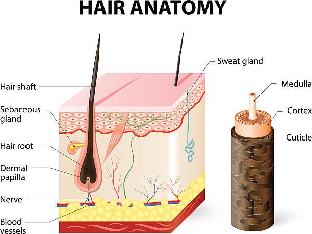 hair follicle diagram clip art norcold wiring diagram 01340 art