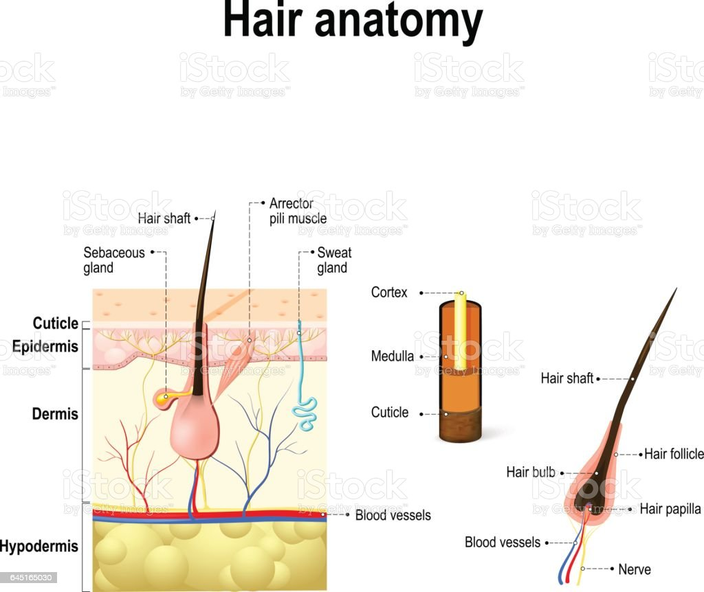 Diagram Of A Hair Follicle In A Cross Section Of Skin ...