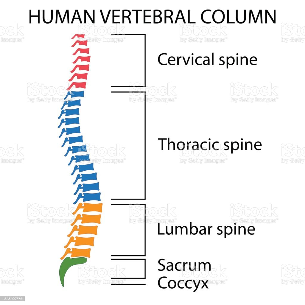 Diagram Of A Human Spine Stock Vector Art More Images Of Anatomy