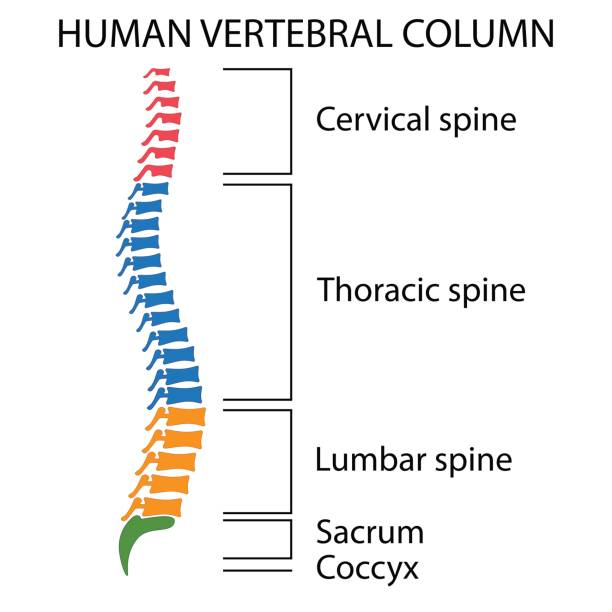 Royalty Free Human Vertebra Clip Art Vector Images Illustrations