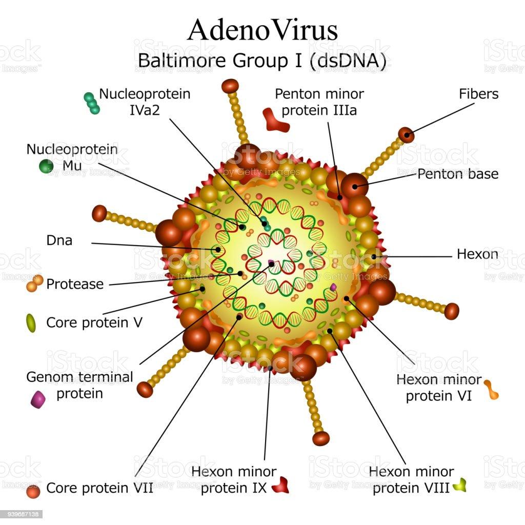 Diagram of Adeno virus particle structure vector art illustration