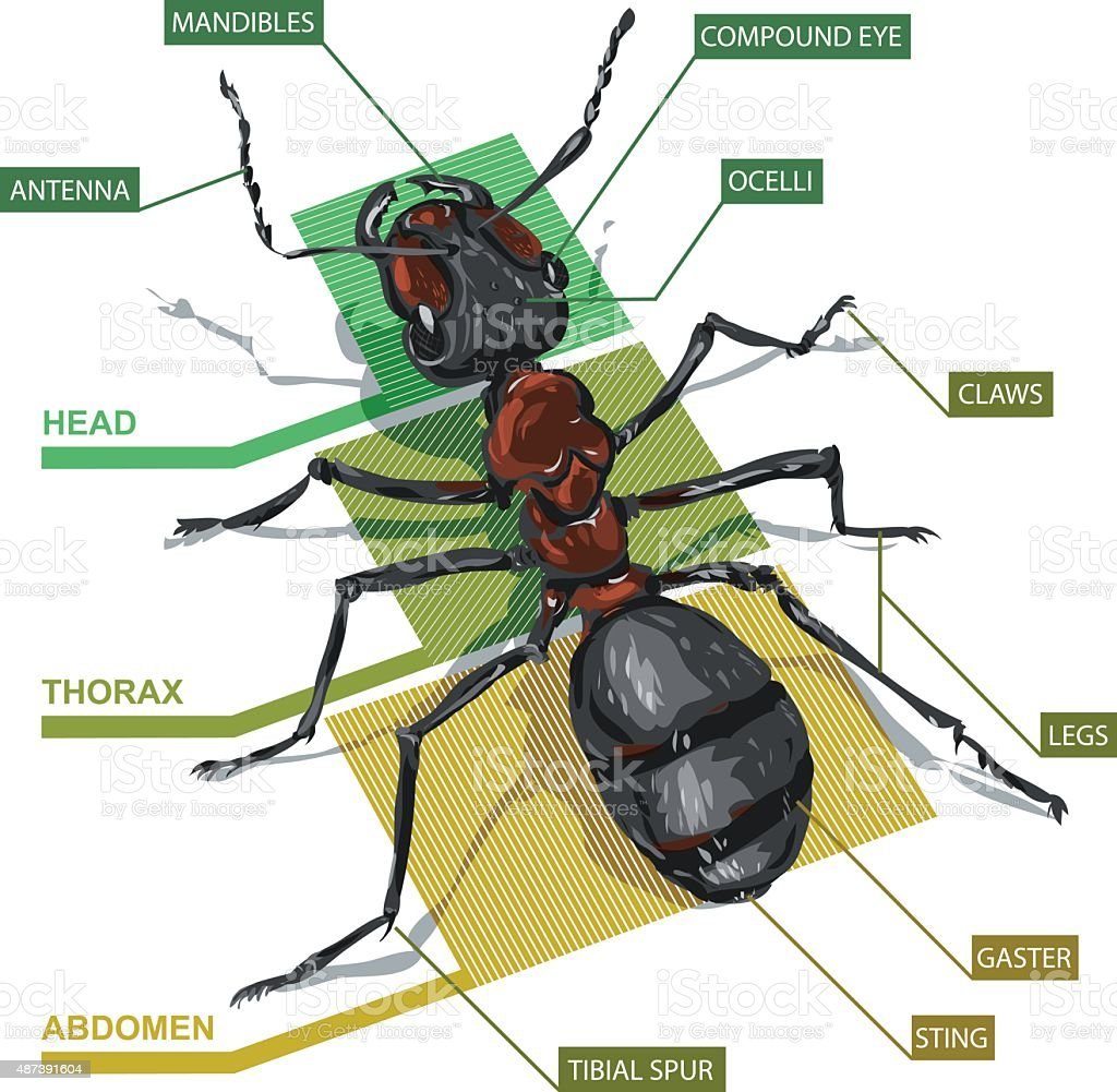Diagram Of An Ant Stock Vector Art More Images Of 2015 487391604