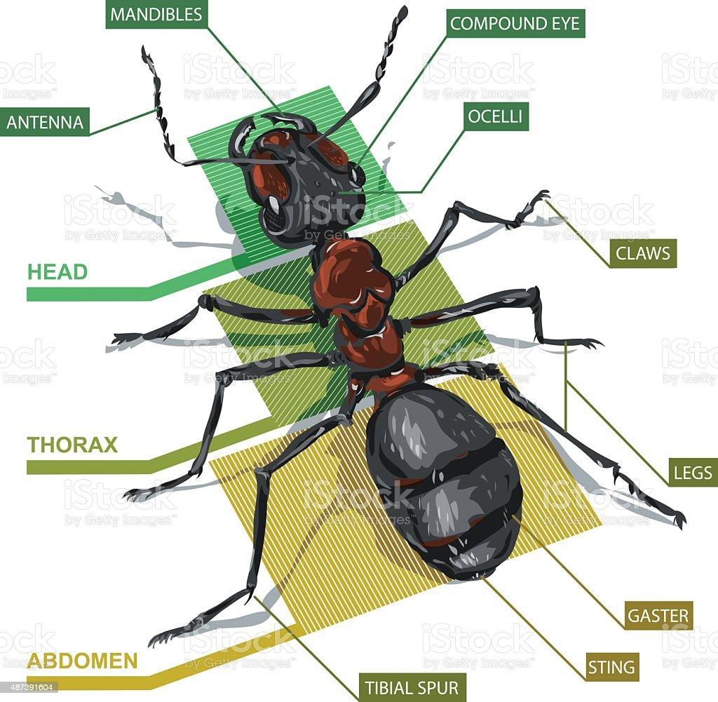 Ilustración de Diagrama De Una Hormiga y más banco de imágenes de ...