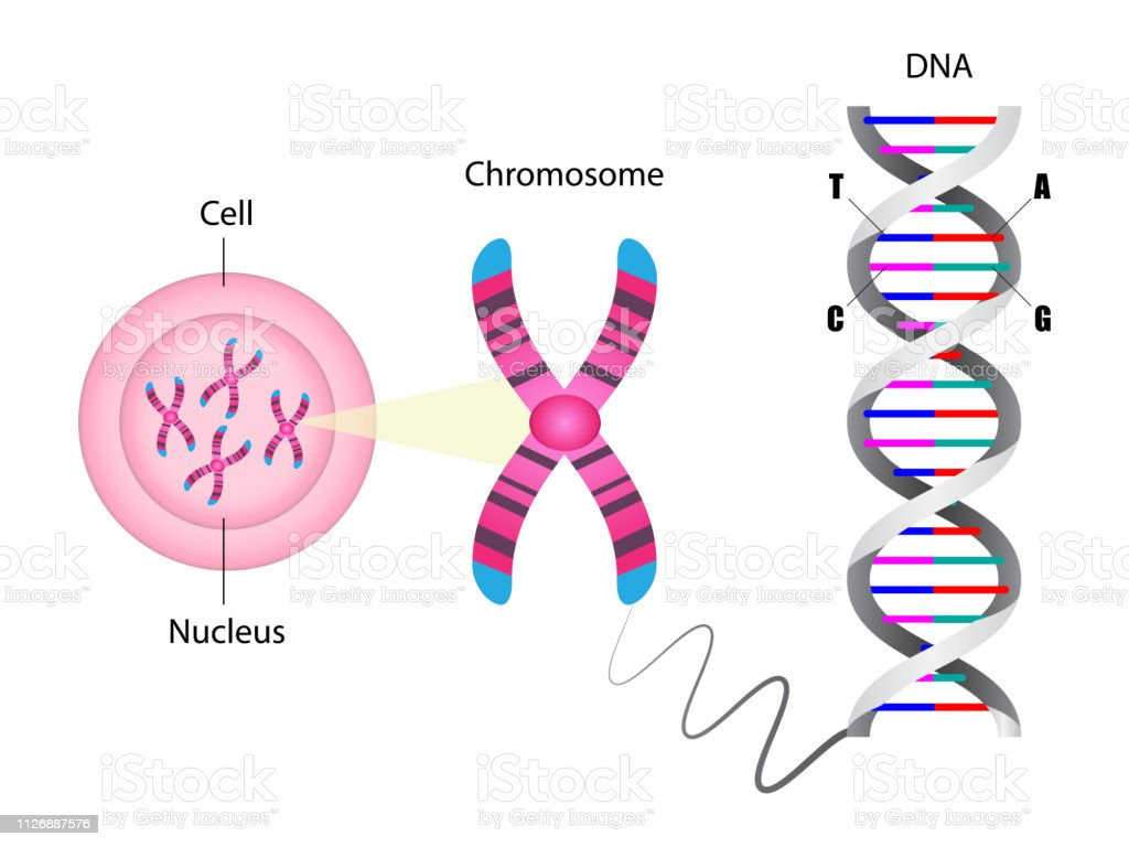 Diagram Of Chromosome And Dna Structure Stock Illustration