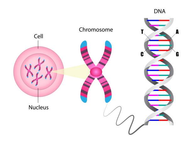stockillustraties, clipart, cartoons en iconen met diagram van chromosoom en dna-structuur - chromosoom