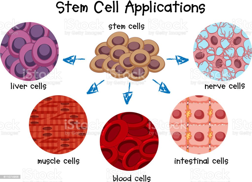 Diagram Of Different Stem Cells Stock Vector Art & More Images of ...