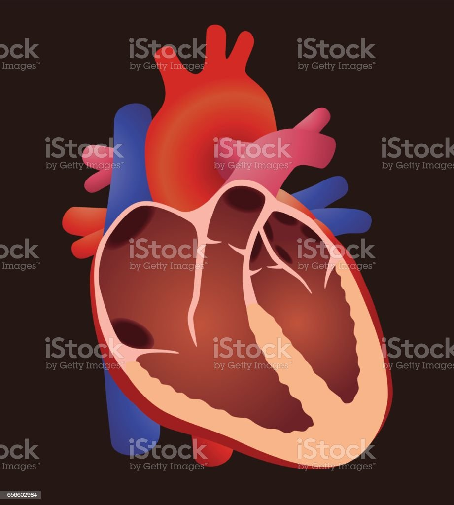 Ilustración de Diagrama De Estructura Cardiaca Humana Corazón ...