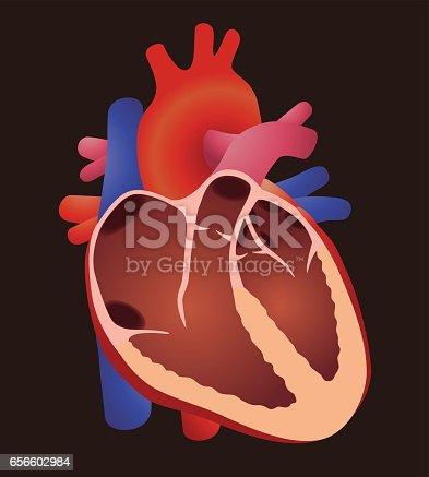 Diagramm Des Menschlichen Herzens Struktur Herz Vektorillustration ...