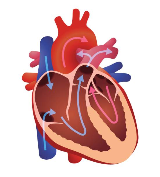 diagram of human cardiac structure, the heart, vector illustration diagram of human cardiac structure, the heart, vector illustration septum stock illustrations