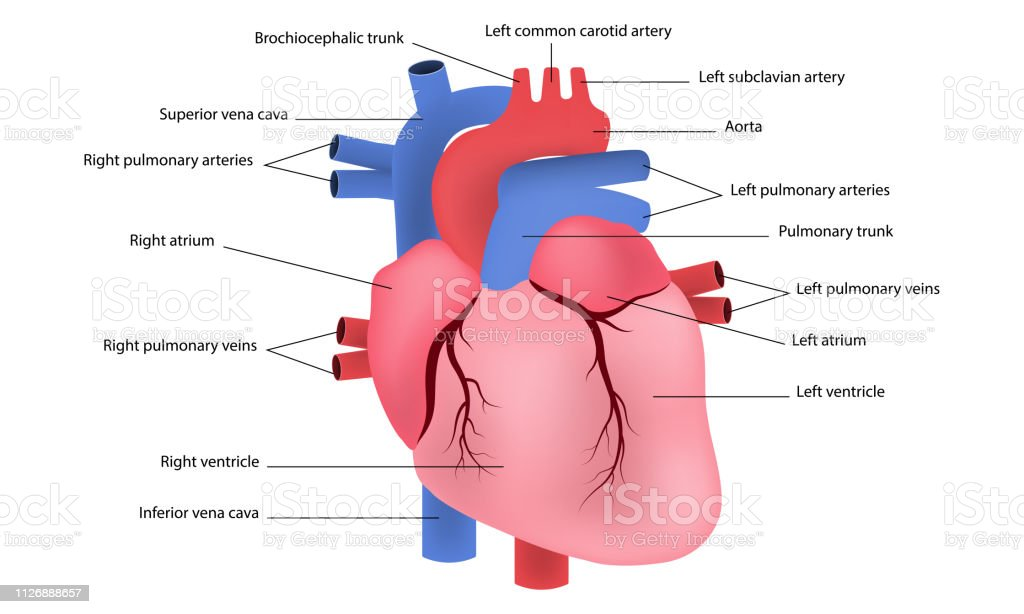 Diagram Of Human Heart Vector Stock Vector Art More Images Of