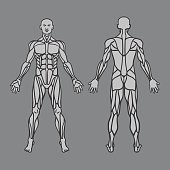 Free download of Human Body Diagram Front and Back vector