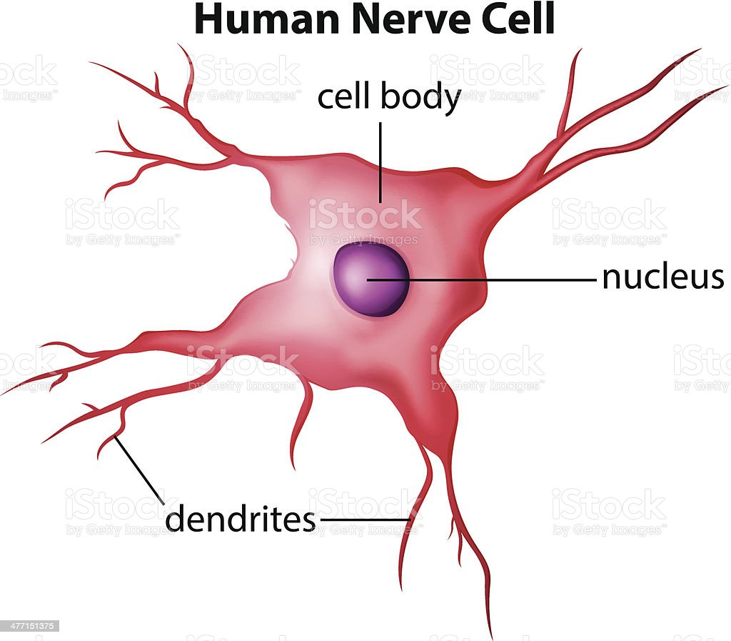 Cheek nerve cell diagram labeled complete wiring diagrams human nerve cell diagram auto electrical wiring diagram u2022 rh wiringdiagramcenter today cheek cell under microscope labeled cheek cell 10x labeled ccuart Image collections