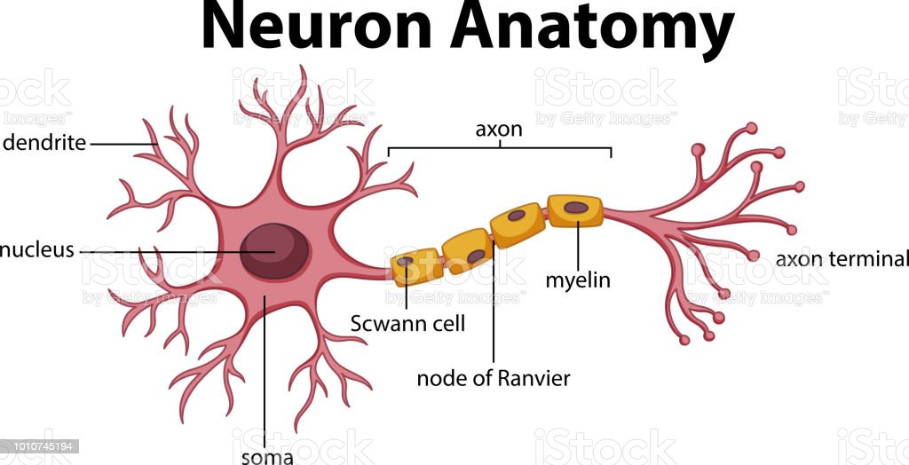 Image result for Neuron Diagram