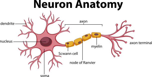 Diagram of Neuron Anatomy Diagram of Neuron Anatomy  illustration neurons stock illustrations