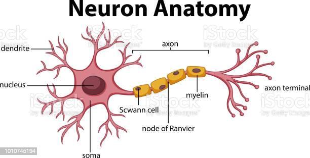 Diagram Of Neuron Anatomy Stock Illustration - Download Image Now