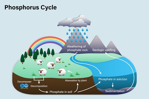 Diagram of Phosphorus cycle