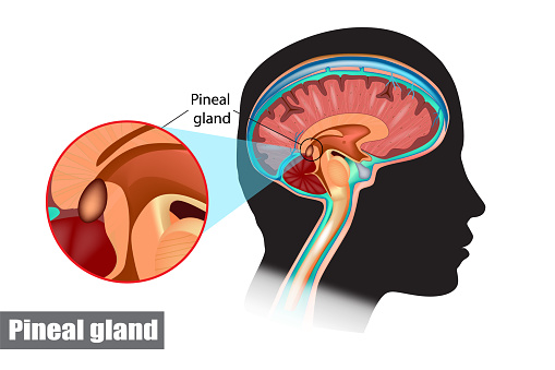Diagram Of Pituitary And Pineal Glands In The Human Brain ...