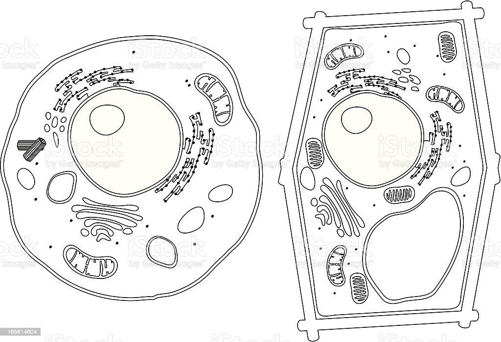 best eukaryotic cell illustrations  royalty-free vector graphics  u0026 clip art