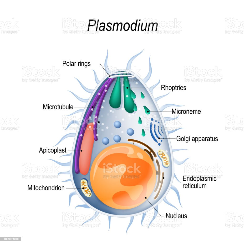 Diagram of Plasmodium merozoites  structure. vector art illustration