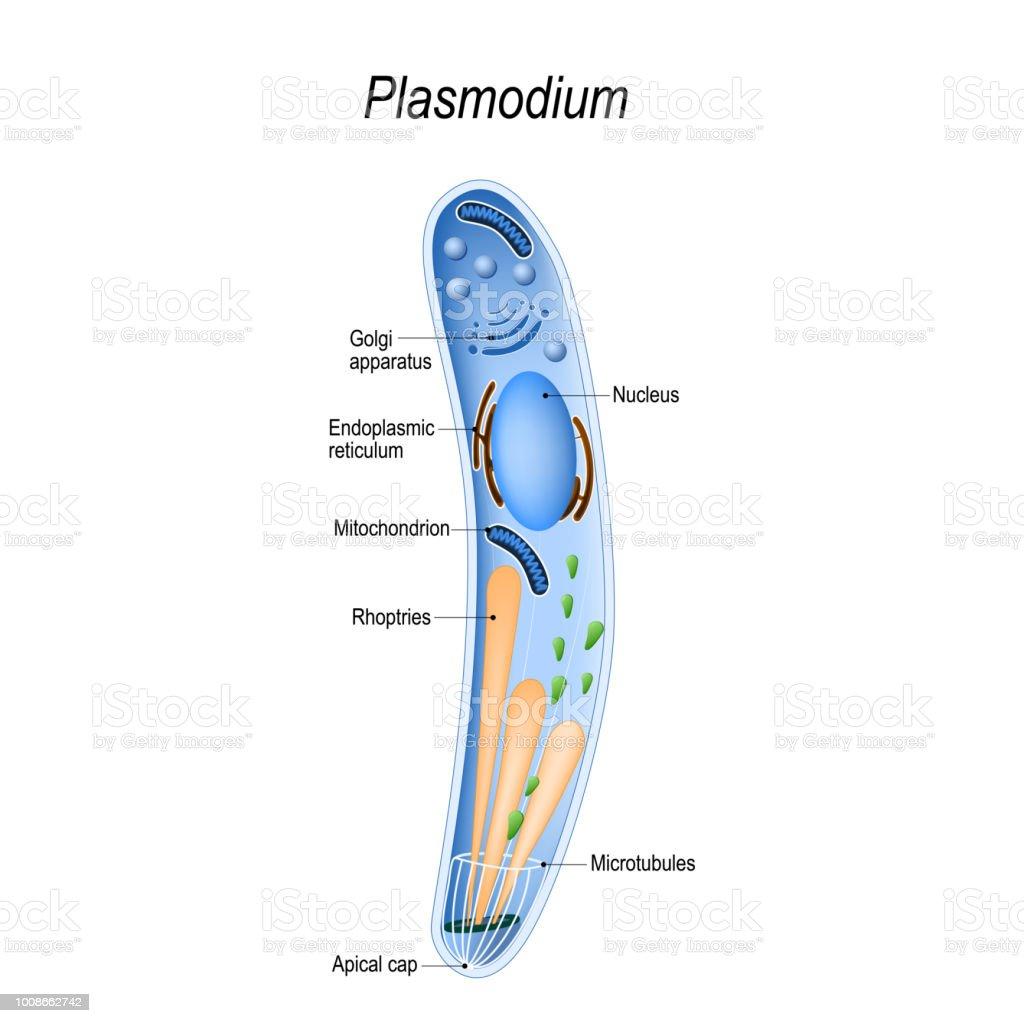 Diagram of Plasmodium structure vector art illustration