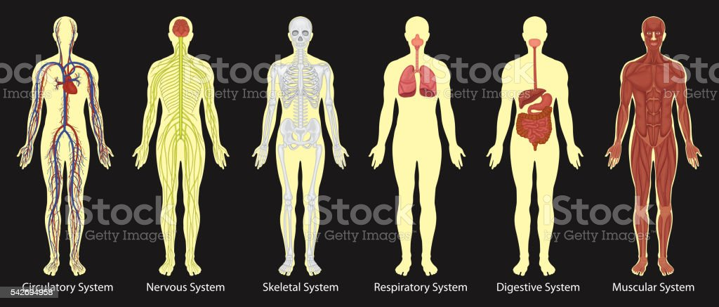 Diagram of systems in human body vector art illustration