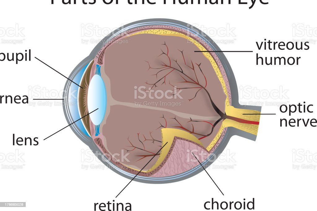 Diagram Of The Human Eye With Parts Labeled Stock