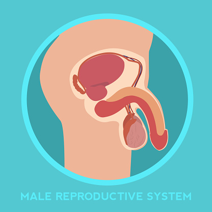 Diagram of the male reproductive system. vector illustration