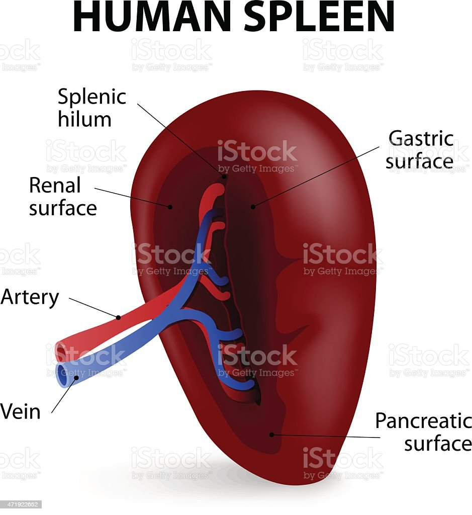 Diagram Of Your Spleen - Complete Wiring Diagrams •