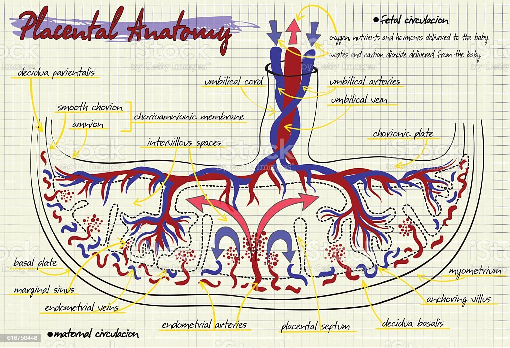 Diagram Of The Structure Of Human Placenta Stock Vector Art & More ...