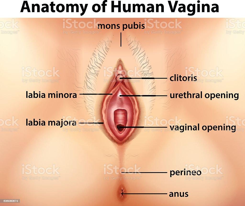 Diagram showing anatomy of human vagina vector art illustration