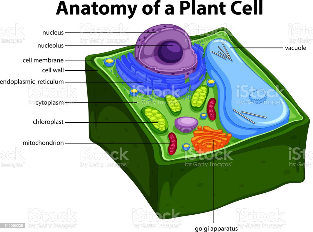 Plant cell diagram computer complete wiring diagrams diagram showing anatomy of plant cell stock vector art more images rh istockphoto com diagram cell simple plant plant cell diagram for 6th graders ccuart