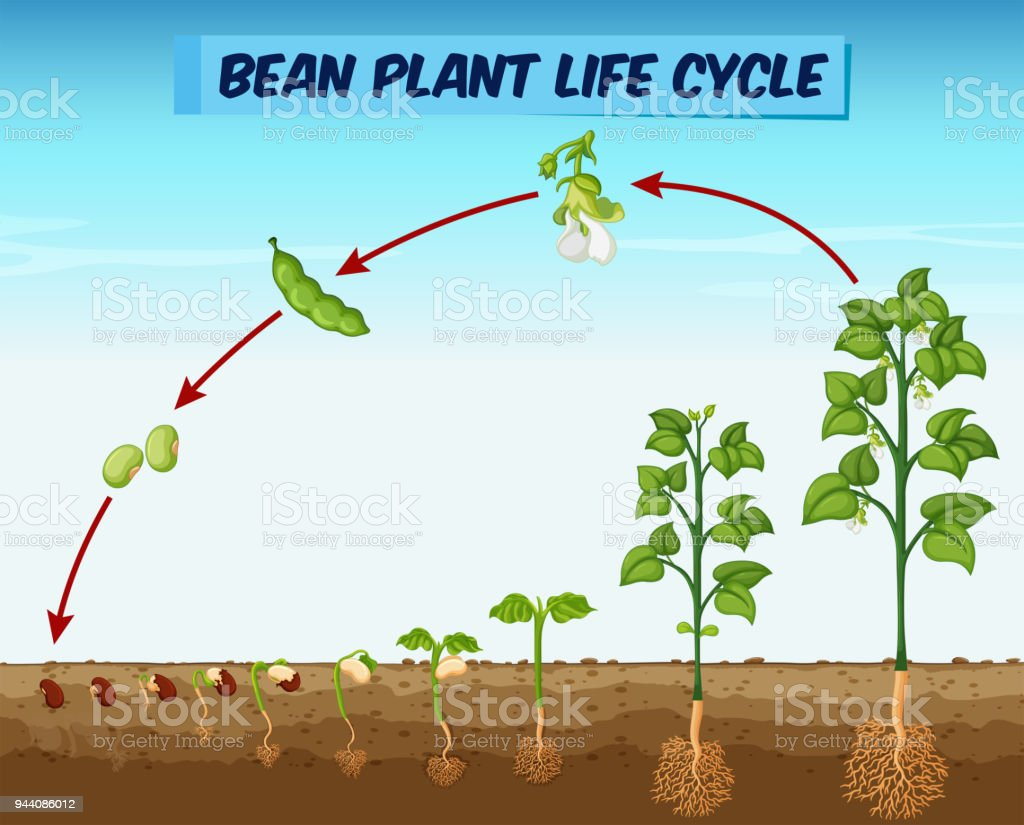 Diagram showing bean plant life cycle stock vector art more images diagram showing bean plant life cycle royalty free diagram showing bean plant life cycle stock ccuart Image collections