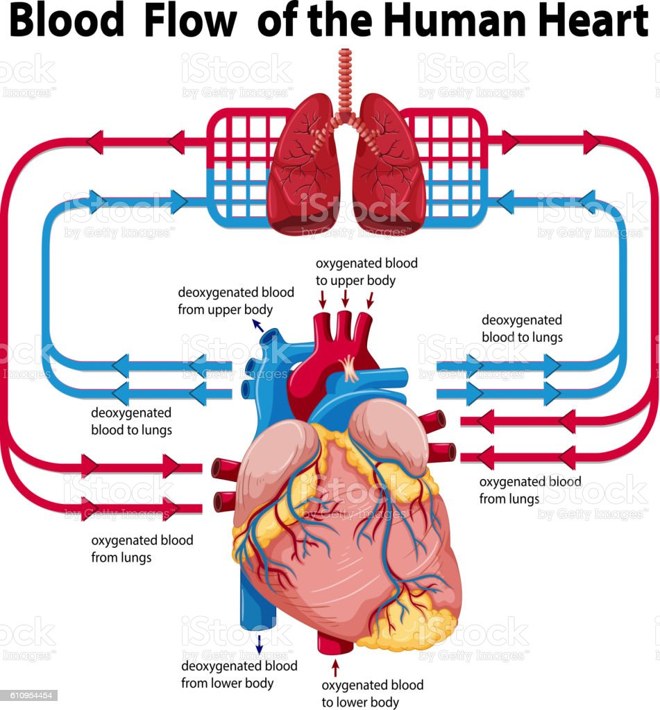 Human heart lungs diagram electrical wiring diagram diagram showing blood flow of human heart stock vector art more rh istockphoto com lung parts ccuart Image collections