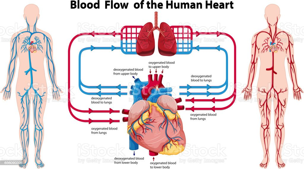 Diagram showing blood flow of the human heart vector art illustration