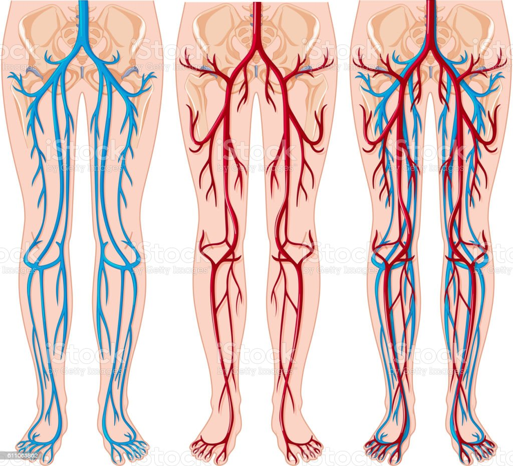 Diagram showing blood vessels in human vector art illustration