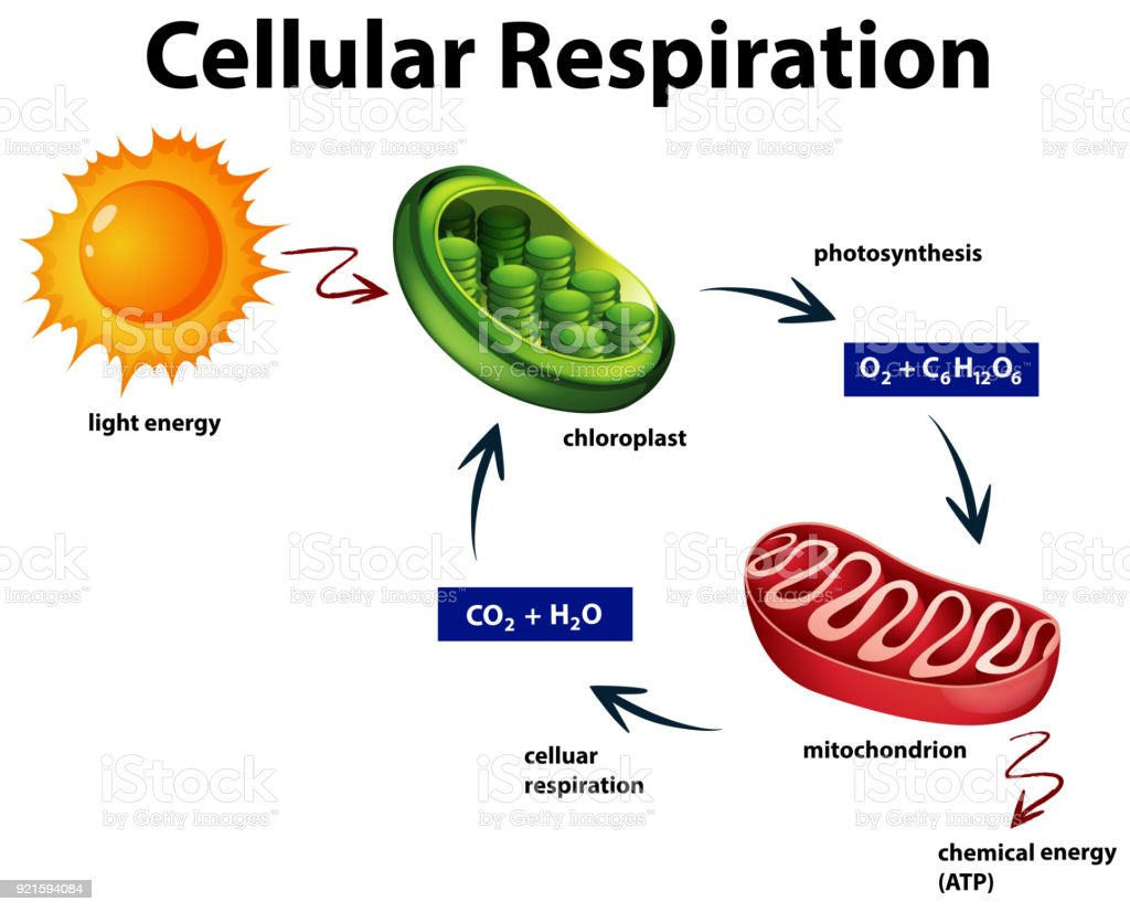 Diagram Diagram Showing Cellular Respiration