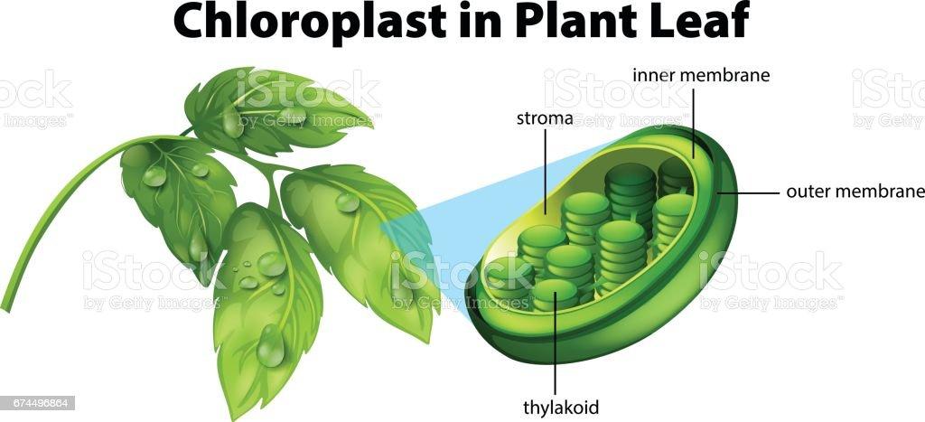 Diagram showing chloroplast in plant leaf stock vector art more diagram showing chloroplast in plant leaf royalty free diagram showing chloroplast in plant leaf stock ccuart Gallery