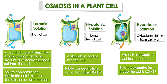 Diagram Showing Details Of Plant Cell Stock Illustration ...