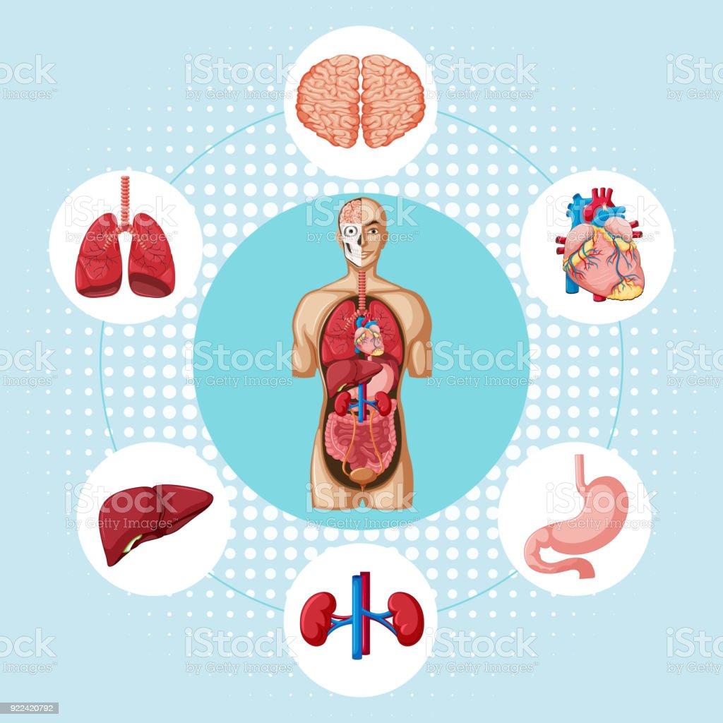 Ilustración de Diagrama Que Muestra Los Diferentes órganos Del Ser ...