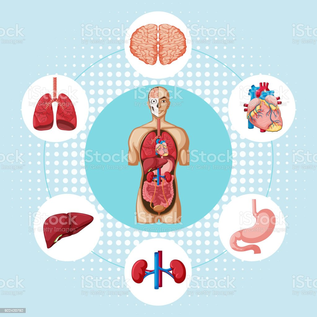 Diagram showing different organs of human vector art illustration