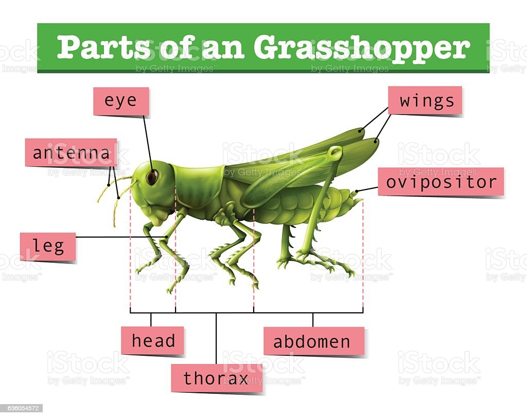Diagram Showing Different Parts Of Grasshopper Stock Vector Art ...