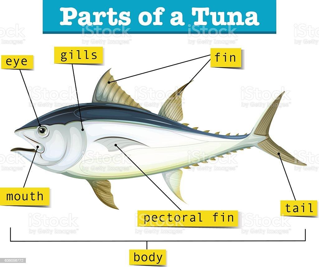 Spanish Mackerel Body Diagram Wiring Data Schema