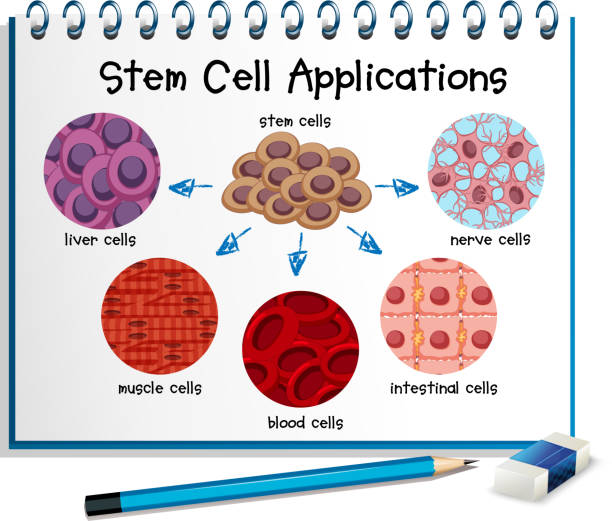 Royalty free liver cells clip art vector images illustrations diagram showing different stem cell applications vector art illustration ccuart Images