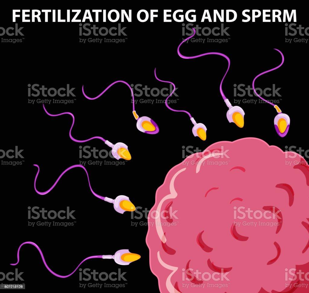 Ilustración de Diagrama Que Muestra La Fecundación Del óvulo Y El ...